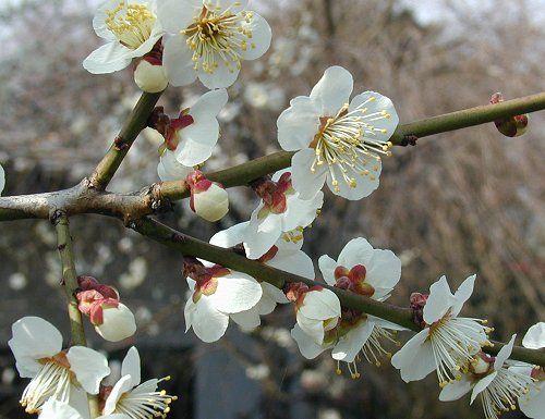 梅 | うめ Prunus mume