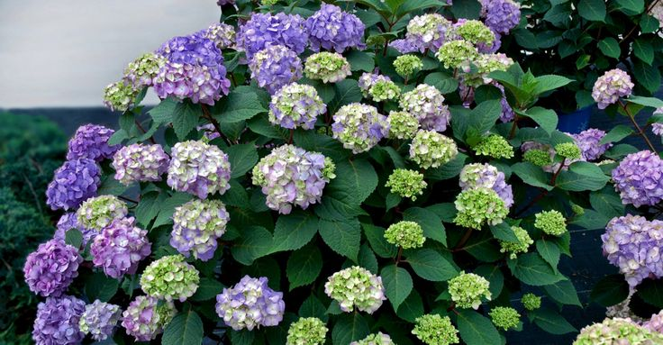 16 best great companion plants images on pinterest hydrangeas companion planting and endless. Black Bedroom Furniture Sets. Home Design Ideas