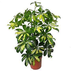 шеффлера растение
