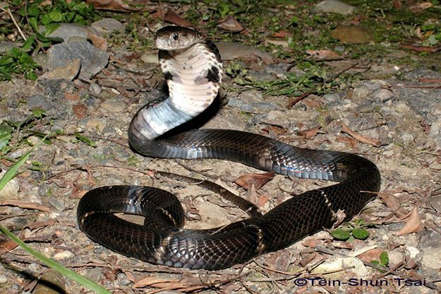 Chinese cobra (Naja atra) | How To Get Rid Of Poisonous and Deadly Snake by Survival Life at http://survivallife.com/2015/04/13/survival-skills-venomous-snakes