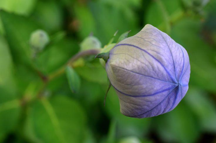 Chinese Bellflower, bloem in knop. http://markrademaker.nl
