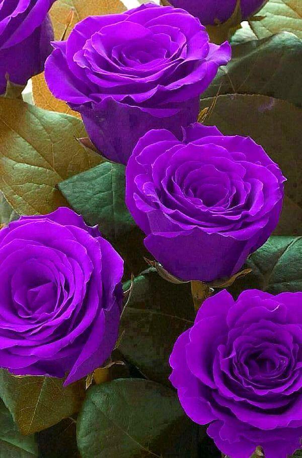 Amazing Purple Roses