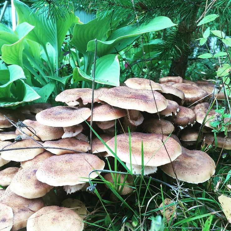 These are not magic mushrooms #green #nature #ourfinland #mushrooms @visitkouvola @ourfinland