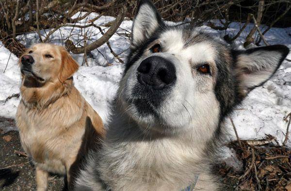 Alaska Malamute dogs