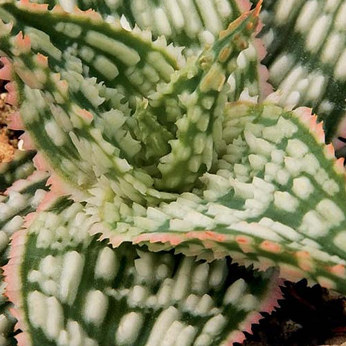 ~~ Shark Aloe ~~Aloe Sal, Aloe Plants, Aloe Hybid, White Teeth, Succulent Plants, Sun Perennials, Gardens Features, Sharks Aloe, Retro Succulents