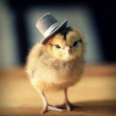cute chicks ,chickens | Cute Baby Chickens Wearing Knit Hats1 Lovely Baby Poultry Dressed in ...