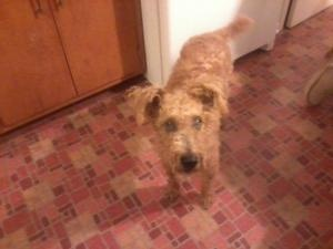 TEDDY is an adoptable Scottish Terrier Scottie Dog in Evansville, IN. TEDDY IS A VERY SWEET AND SMART DOG, HE IS HOWEVER 90 PERCENT BLIND AND SUFFERS FROM SEIZURES THAT ARE CONTROLLED WITH A VERY INEX...