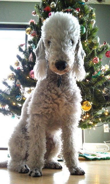 Bedlington Terrier Merry Christmas Card Puppy Holiday Dogs Santa Claus Dog Puppies Xmas