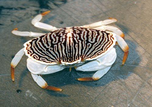 Juvenile Red Rock Crab N. Oregon Coast, in Aquarium