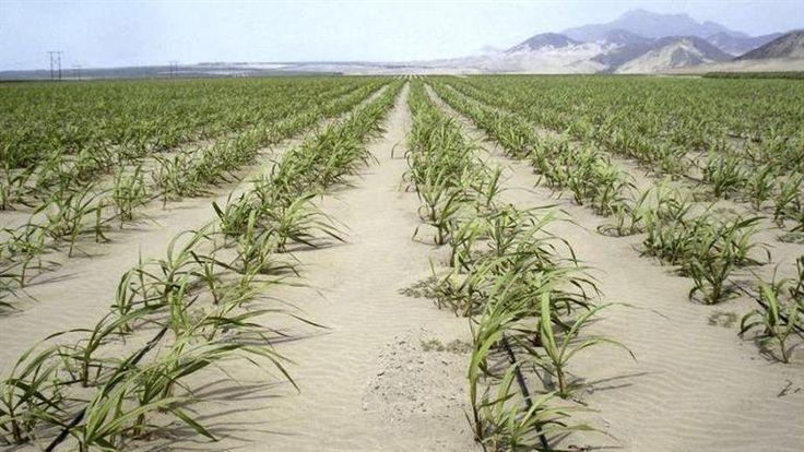 Tecnología: soluciones para producir alimentos en condición extrema. Empresas israelíes ofrecen sistemas de riego por goteo y herramientas para la agricultura de precisión La tecnología israelí apl…