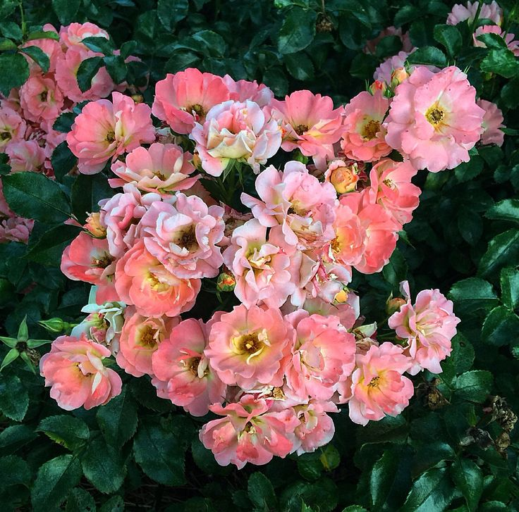 186 Best Images About Drift Groundcover Roses On