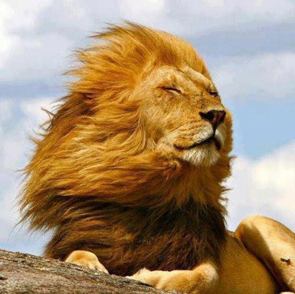 Lion enjoying the breeze