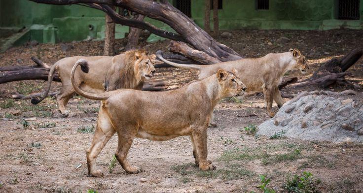Jamvan, Gini a Jennifer - to jsou jména tří lvů indických, kteří by ze Zoo Sakkarbaug ve státě Gudžarát měli v létě přicestovat do pražské zoo. Jejich získání předcházelo více než dvouleté vyjednávání, a pokud se vše podaří, půjde o první dovoz těchto lvů pro Evropský záchovný program (EEP) po více než dvaceti letech.