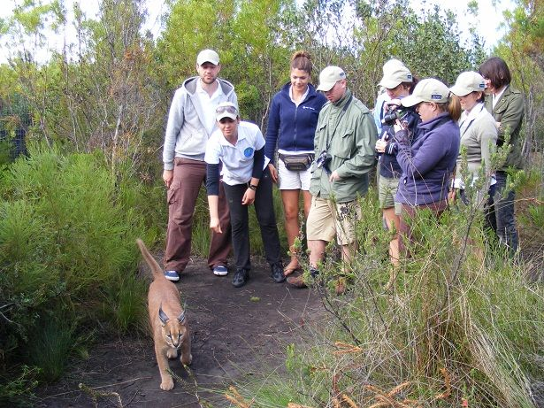 Join us on a guided tour of Tenikwa Wildlife Centre to see the indigenous wild cats of South Africa. African Wild Cats, Serval, Caracal, Cheetahs, Leopard, marabous, Chacma baboons and other wildlife. This is an unique opportunity to get close to some amazing creatures, and learn about their struggle to survive in the wild.
