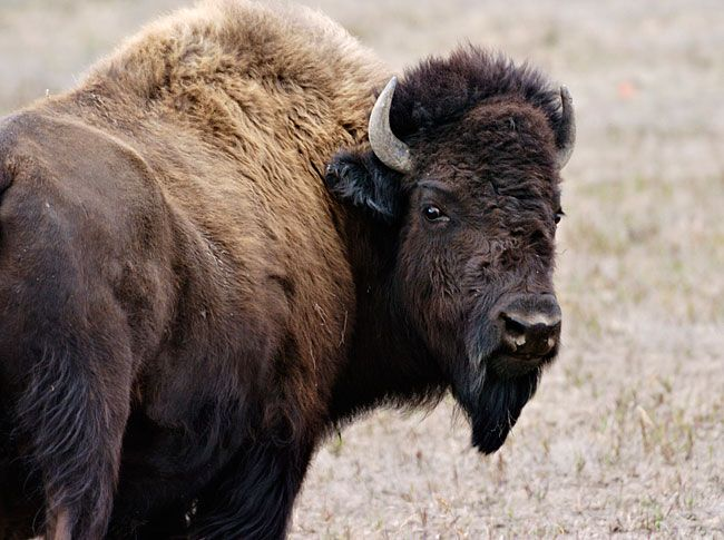 Bison Hunts - Dan Moody Hunting