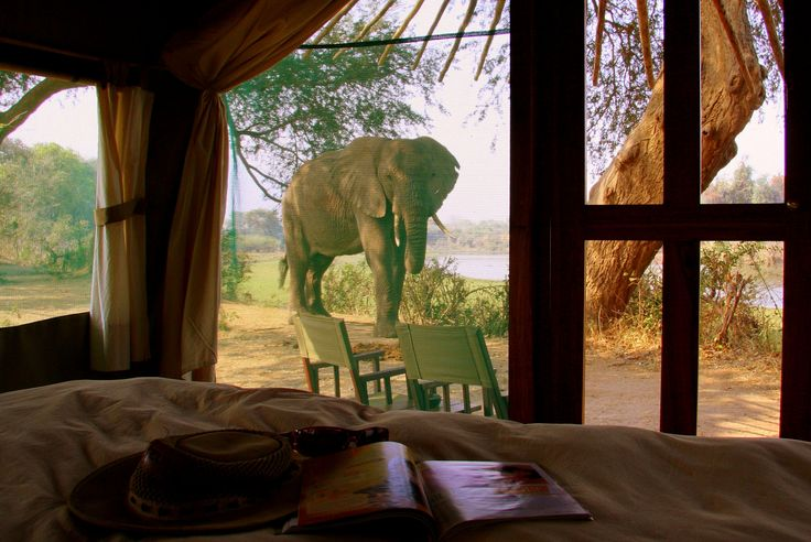 A visitor pops by your suite at Chongwe River Camp, #Zambia. #Africa #Travel #Chongwe #Zambezi #Relax #Elephant #Safari #Bush #Camp #River