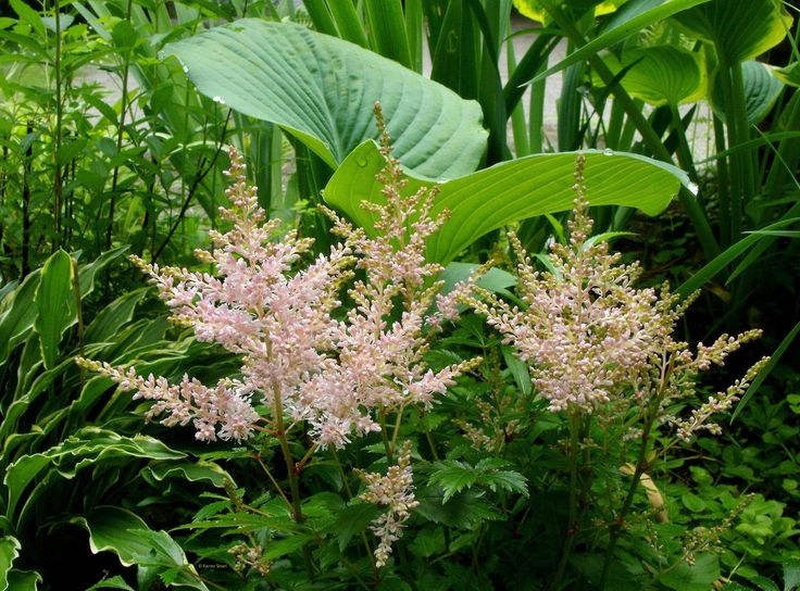 Astilbe and hosta