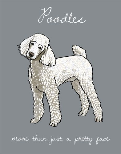 Poodles, more than just a pretty face.