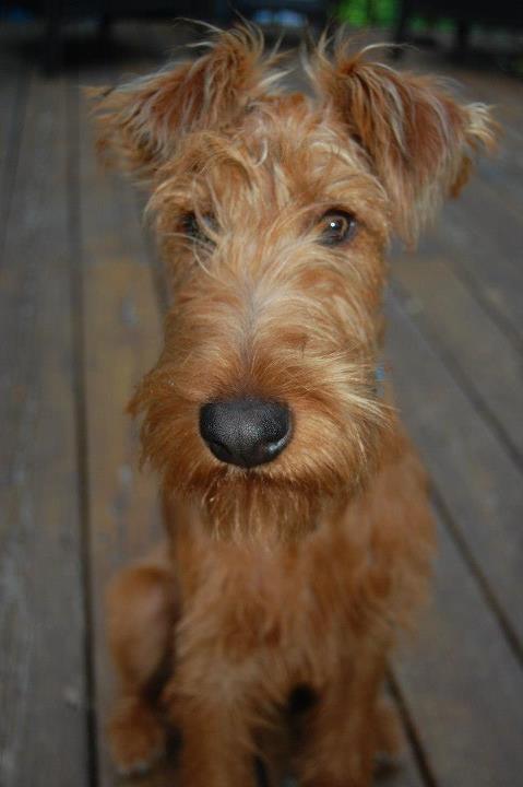 53. Terrier Irlandés | Necesita retos mentales (como el entrenamiento constante)…