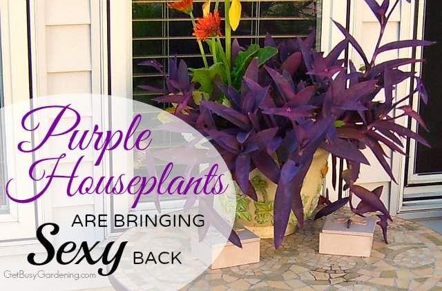 Plantas de interior púrpura está trayendo la parte posterior atractiva