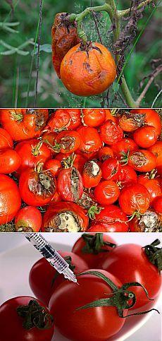 Народные методы борьбы с фитофторозом помидоров | Огород без хлопот