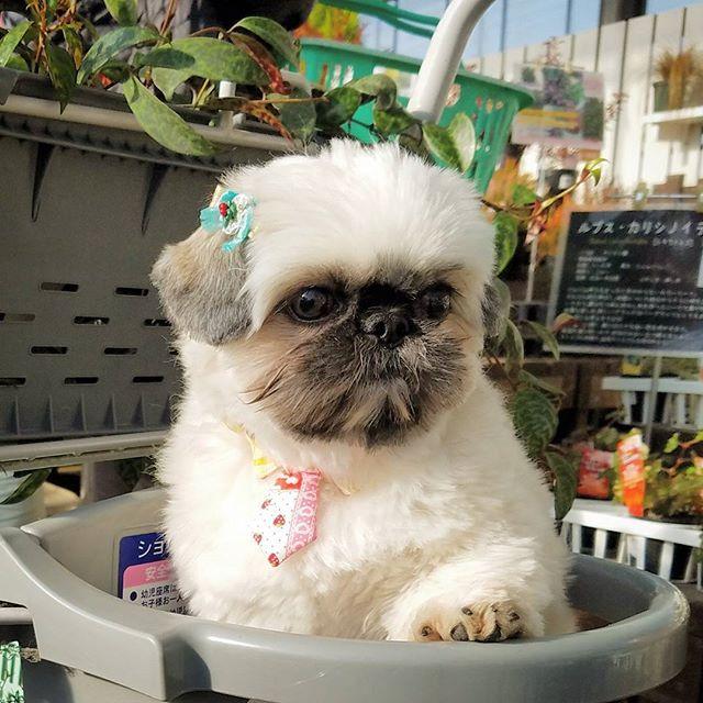 歳末saleの園芸店  付き合ってくれてます🎶 【歳末売り尽くしsaleの園芸店】  #しがトコ  #植物と暮らす  #植物にに触れる #植物のある暮らし  #お花屋さん #ガーデニング #gardening #gardener #gardeninglife #花に触れる #大好きな園芸店 #植物 #愛犬 #愛猫 #lovepet #lovedog #petdog #lovecat #petcat #pet #mypet  #prince #プリンス #プリンセス #princess #花が好き #緑が好き #植物が好き #花が好きな人と繋がりたい #写真好きな人と繋がりたい