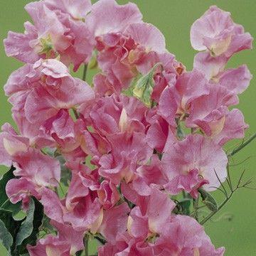 Djupt mandelblomrosa. Idealisk för snittblommor och trädgård dekoration . HA - Hardy årligen . Höjd 1,8 m ( 6 ') . . [20,00kr]