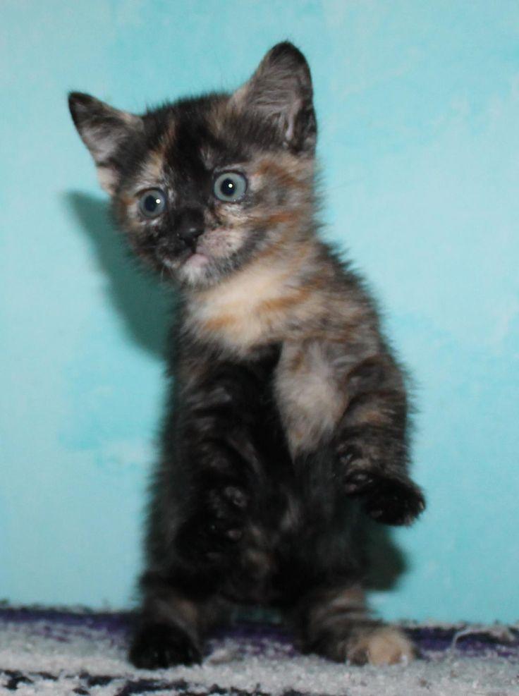 Munchkin Cat! Looks like November when she was tiny!