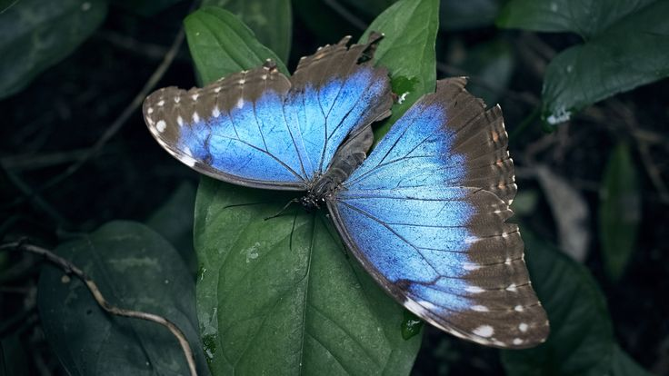 The Emperor: Though his aged wings are rather tattered and worn, the iridescent glow of this Blue Morpho butterfly is still majestic and mesmerisingly vibrant against the shady green of tropical vegetation.