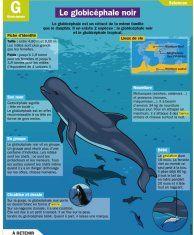 Le globicéphale noir - Mon Quotidien, le seul site d'information quotidienne pour les 10 - 14 ans !