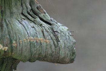 burl wood: Eine verwitterte Holz BURL.
