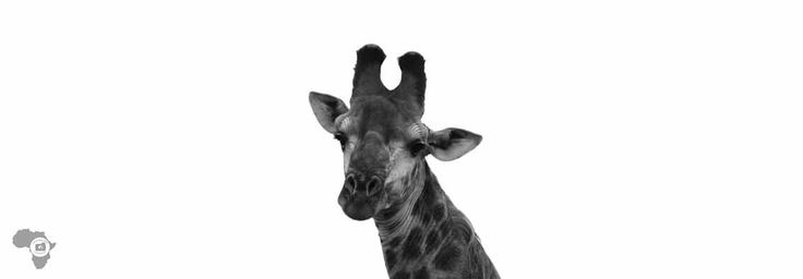 For my love of Giraffe #offtoafricasafaris #fortheloveofnature