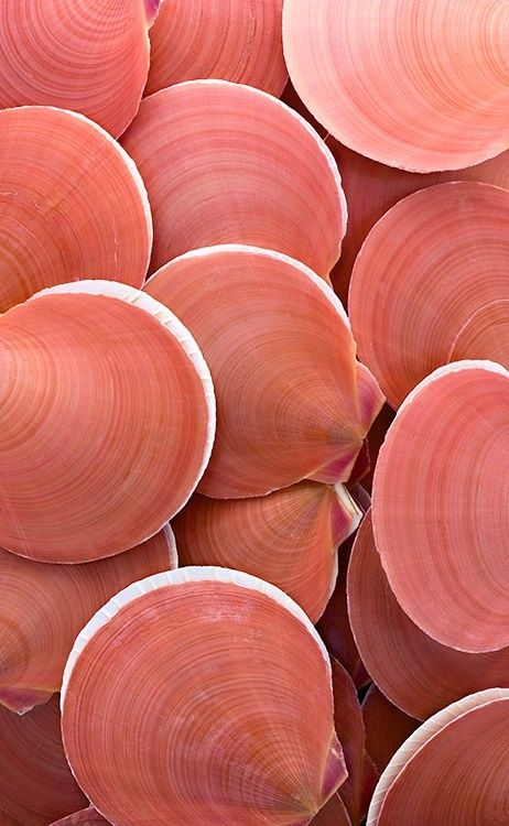 Nature's Artwork: moon scallops - colour, shape and surface pattern inspiration for design #Shells #Sesshell