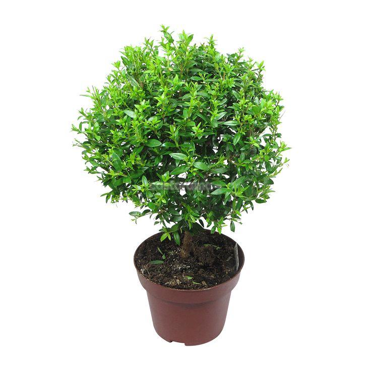 Комнатное растение Мирт 12 х 30 см