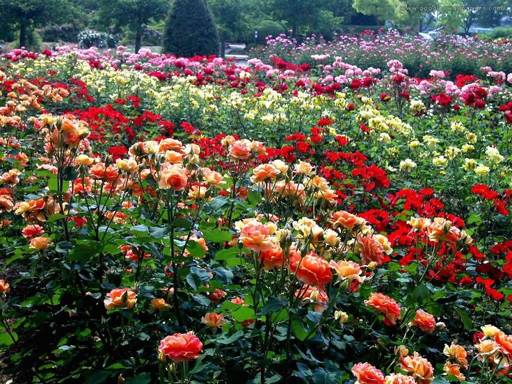 Big Rose Garden Rose Garden Free Hd Wallpapers In Red Yellow Blue Color Roses