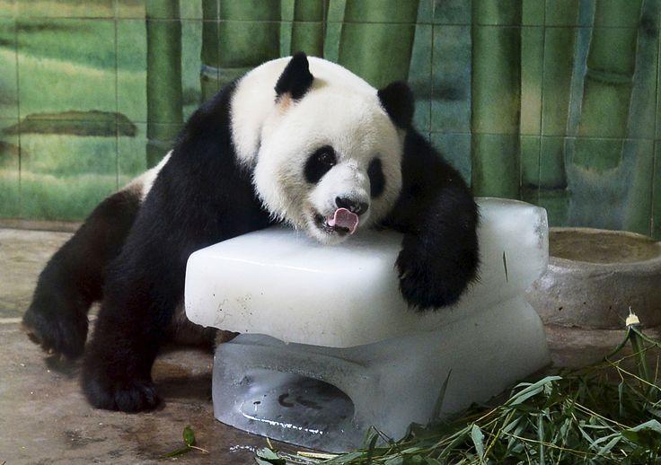 Panda raksasa Weiwei bersender pada balok es untuk mendinginkan dirinya di dalam kandangnya di sebuah kebun binatang di Wuhan, provinsi Hubei, China. Suhu setempat mencapai 36 derajat Celsius.