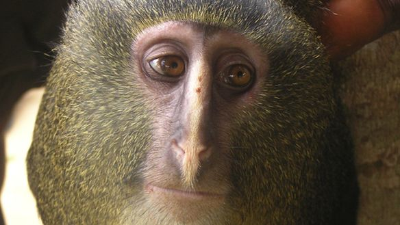 Incredibly Humanlike New Species of Blond Monkey Discovered in Congo | VICE United States