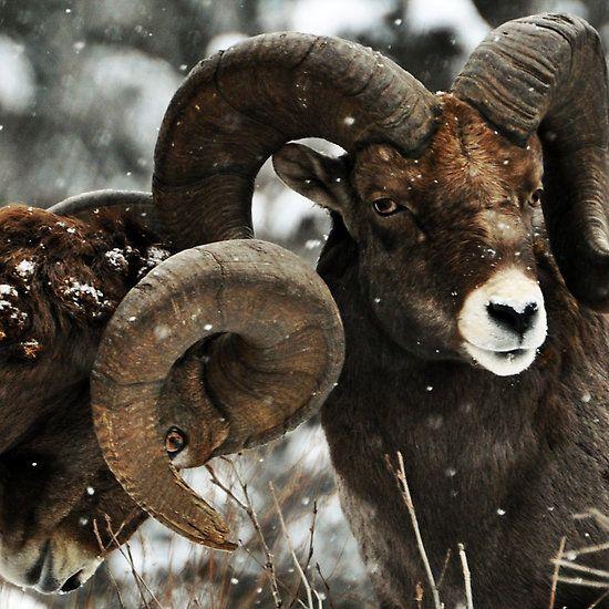 svartur-vargar:  Bighorn Sheep