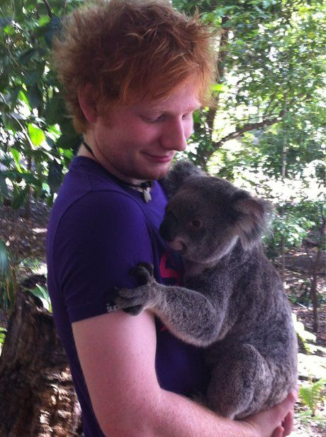 Oh my god I'm dying! Ed Sheeran is holding a koala! Too much cute!