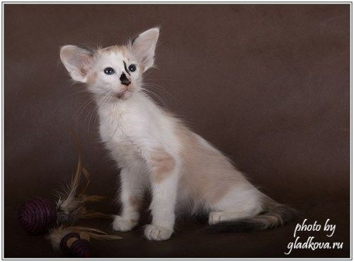 Seal Tortie Point Bicolour Oriental Shorthair Cats Balinese Cat Pretty Cats