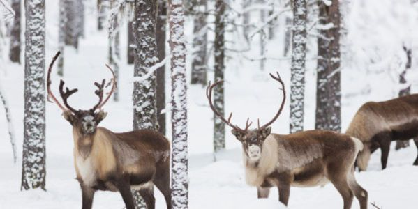 Tell Lidl to Stop Selling Reindeer Meat! http://www.thepetitionsite.com/767/921/116/tell-lidl-to-stop-selling-reindeer-meat/