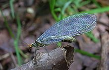 Chrysopidae - The green lacewing can be used for biological control and is highly predatory of most soft-bodied pests, including aphids and whiteflies.