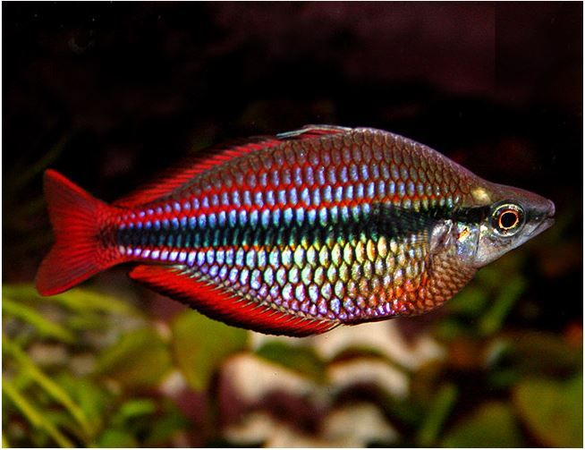 The Goyder River Rainbowfish Has A Black Horizontal Stripe And Red Fins Their Fins Usually Have A Black Edge To Them Like Mo Aquarium Fish Fish Tropical Fish