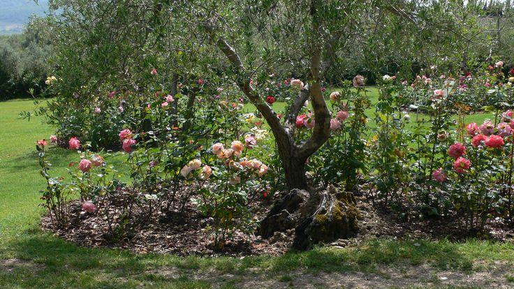 In the rose garden at Villa le Barone in Chianti