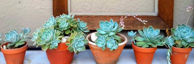 Succulents, Echeviera   I grew them in my garden and replanted them in terracotta pots as wedding favours