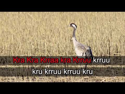 Lintukaraoke: Kurki (video 0:36).