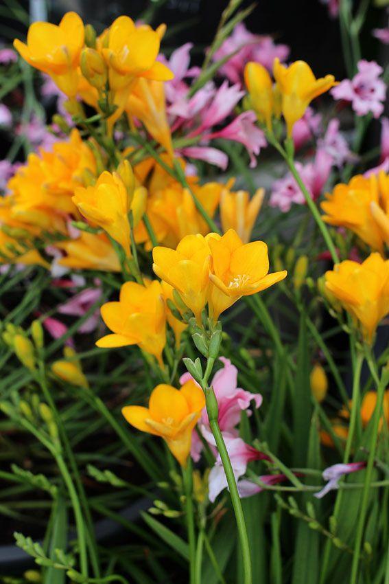 Freesia Single Yellow Freesia Perennial Plants Plants