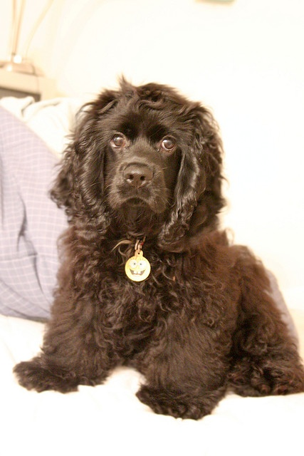 Chocolate Cocker Spaniel by © Odenosuke, via Flickr.com. Exhibited in the US since the 1880s, the Cocker Spaniel remains one of the most popular breeds according to AKC® registration statistics. The Cocker has a sturdy, compact body and a silky, flat or wavy coat. He is a merry, well-balanced dog that is capable of considerable speed and great endurance. Cocker Spaniels can be black, black with tan points, parti-colored or any solid color other than black (ASCOB).