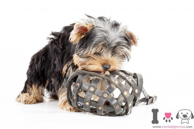Yorkshire Terrier Toy, sus características http://www.razasdeperros.com/yorkshire-terrier-toy-caracteristicas/