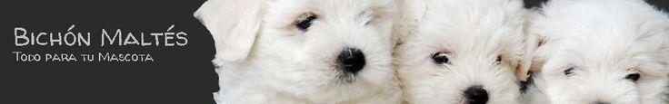 Bichon Maltes: origen, cuidados, precio,  perro, características, alimentación, imágenes y vídeos